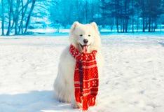 Perro blanco feliz del samoyedo en nieve en invierno Fotos de archivo