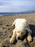 Perro blanco grande imágenes de archivo libres de regalías