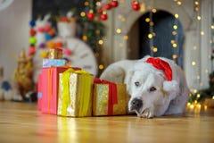 Perro blanco grande en casquillo del ` s de Santa Claus Fotos de archivo libres de regalías