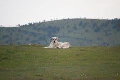 Perro blanco grande en la montaña Foto de archivo