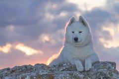 Perro blanco hermoso del samoyedo que se coloca en una roca fotos de archivo