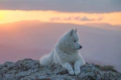 Perro blanco hermoso del samoyedo que se coloca en una roca en la puesta del sol Imagen de archivo
