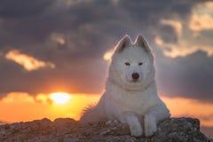 Perro blanco hermoso del samoyedo que se coloca en una roca en la puesta del sol Imagenes de archivo