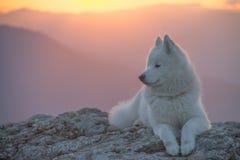 Perro blanco hermoso del samoyedo que se coloca en una roca en la puesta del sol imágenes de archivo libres de regalías
