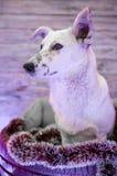 Perro blanco hermoso Foto de la Navidad Feliz Año Nuevo y Feliz Navidad Imagen de archivo