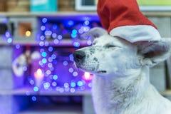 Perro blanco hermoso Foto de la Navidad Feliz Año Nuevo y Feliz Navidad Fotos de archivo