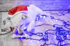 Perro blanco hermoso Foto de la Navidad Feliz Año Nuevo y Feliz Navidad Fotografía de archivo libre de regalías