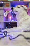 Perro blanco hermoso Foto de la Navidad Feliz Año Nuevo y Feliz Navidad Foto de archivo