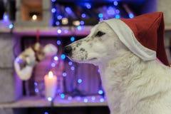 Perro blanco hermoso Foto de la Navidad Feliz Año Nuevo y Feliz Navidad Foto de archivo libre de regalías