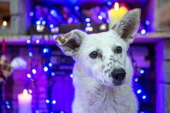 Perro blanco hermoso Foto de la Navidad Feliz Año Nuevo y Feliz Navidad Imagen de archivo libre de regalías