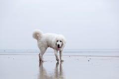 Perro blanco lindo que juega en la playa fotos de archivo