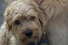 Perro blanco molesto Foto de archivo libre de regalías