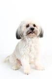 Perro blanco mullido de Havanese Fotografía de archivo