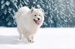 Perro blanco peludo del samoyedo del primer que corre en nieve en invierno imagen de archivo libre de regalías