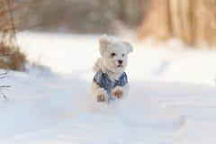 Perro blanco que corre en nieve en invierno Imagenes de archivo