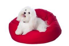 Perro blanco que miente en Bean Bag rojo Fotografía de archivo libre de regalías