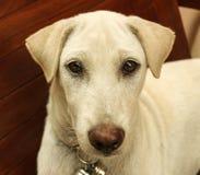 Perro blanco que miente en una silla de madera imagen de archivo