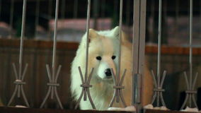 Perro blanco que raspa detrás de una cerca almacen de metraje de vídeo