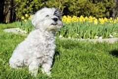 Perro blanco que se sienta en un jardín de la primavera fotografía de archivo libre de regalías