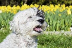 Perro blanco que se sienta en un jardín de la primavera fotos de archivo libres de regalías