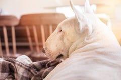 Perro blanco, retrato del perfil de bull terrier del inglés Vista lateral del hocico imagen de archivo libre de regalías