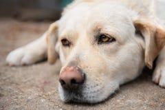 Perro blanco soñoliento cansado con los ojos marrones imágenes de archivo libres de regalías