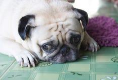 Perro blanco solo precioso del barro amasado Imágenes de archivo libres de regalías