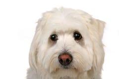 Perro blanco triste Imagenes de archivo