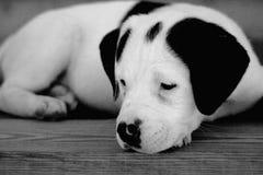 Perro blanco y negro Imágenes de archivo libres de regalías