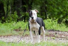 Perro blanco y negro de Pitbull con el ojo azul, fotografía de la adopción del rescate del animal doméstico Imagen de archivo libre de regalías