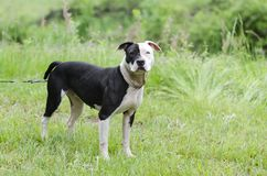 Perro blanco y negro de Pitbull con el ojo azul, fotografía de la adopción del rescate del animal doméstico Fotografía de archivo libre de regalías