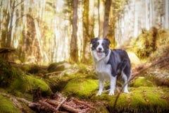 Perro blanco y negro del border collie en bosque Fotos de archivo