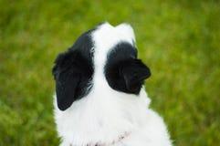 Perro blanco y negro del mutt Imágenes de archivo libres de regalías