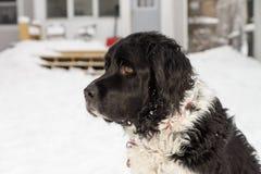 Perro blanco y negro en la nieve Foto de archivo