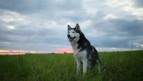 Perro blanco y negro, husky siberiano de la raza al aire libre en el parque en la puesta del sol