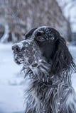 Perro blanco y negro lindo del organismo inglés que juega en nieve Foto de archivo libre de regalías
