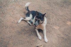 Perro blanco y negro lindo que pone en la tierra Imagenes de archivo