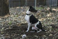 Perro blanco y negro que mira sobre su hombro Fotos de archivo
