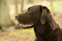 Perro bonito de Labrador Fotos de archivo libres de regalías