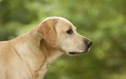 Perro bonito de Labrador Imagen de archivo libre de regalías