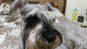 Perro bonito 2 del schnauzer imágenes de archivo libres de regalías