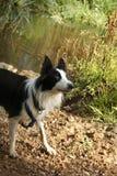 Perro - border collie con el fondo natural Fotos de archivo libres de regalías