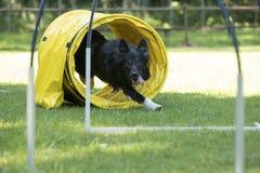 Perro, border collie, corriendo a través del túnel de la agilidad Fotografía de archivo