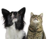 Perro, border collie, gato, lookink para arriba Foto de archivo libre de regalías