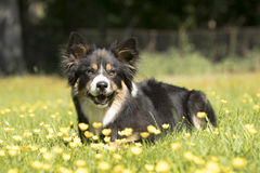 Perro, border collie, mintiendo en hierba con las flores amarillas Imágenes de archivo libres de regalías