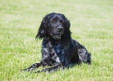 Perro bretón negro de Epagneul en un césped verde Fotografía de archivo libre de regalías