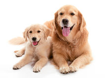 Perro Buddys foto de archivo libre de regalías