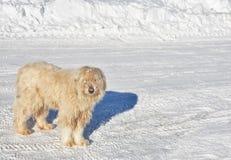 Perro cárpato fotografía de archivo