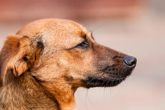 Perro callejero de Rhodesian Fotografía de archivo libre de regalías