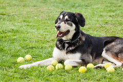 Perro callejero del malamute de Alaska Imágenes de archivo libres de regalías